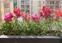 Balkonda çiçek nasıl yetiştirilir, bakımı sulaması ve en